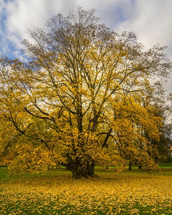 a tree dropping yellow leaves in fall